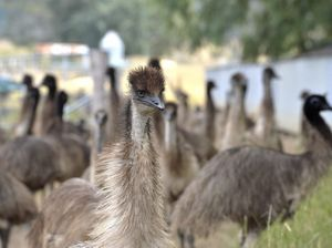Eddie the Emu enjoys Emerald