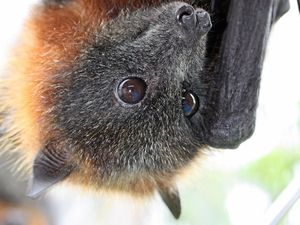 Plan to manage flying fox population