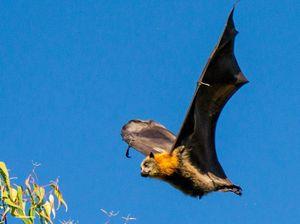 For fox sake! Residents driven batty want Coolum resolution