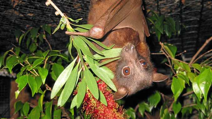 Flying foxes are fascinating creatures critical to the survival of our native trees.