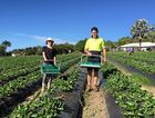 Jedaco Berries has a handful of the 6000 jobs ripe for the picking on strawberry farms this season.