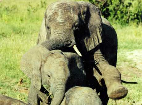 Ms Pincott described her bond with free-roaming elephants as extraordinary and life-changing.