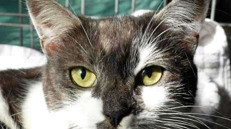 ARIZONA is a two-year-old confident kitty. She was surrendered with Phoenix so a home together would be perfect. Adopt her for $140.