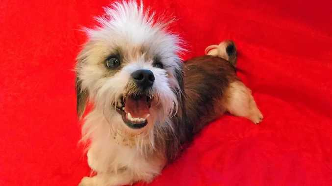 ALFIE is a handsome shihtzu cross. He needs patience, is a fast learner and enjoys a good walk. Adopt him for $425.