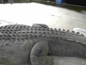 Movie prop Jock the Croc for sale