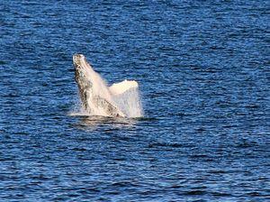 Yamba whale sighting heralds start of huge season