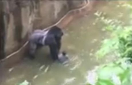 Harambe the gorilla next to the four-year-old who fell into its enclosure