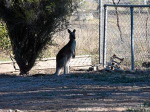 Kangaroo still trapped in suburban backyard a week later