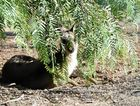 STUCK: The eastern grey kangaroo trapped in a Locke St backyard has yet to be relocated.