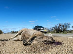 Roos left to die a painful death on Fraser Coast roads