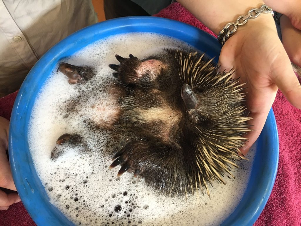Biddy the echidna enjoys a bath after being found in Maryborough with cuts on her body. Photo Contributed / Fraser Coast Chronicle