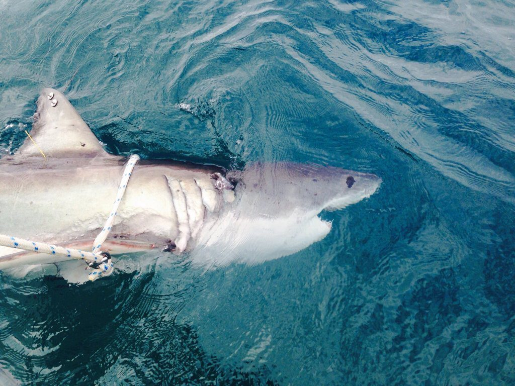 WHITE POINTER: This 2.8m female white shark was tagged on Wednesday afternoon 200m off Evans Head. Three others of a similar size were tagged and released the day prior by the DPI.