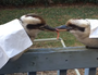 Watch as two Kookaburras fight a 30 minute tug of war