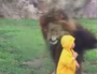 MUST SEE: The moment a lion charges at a child
