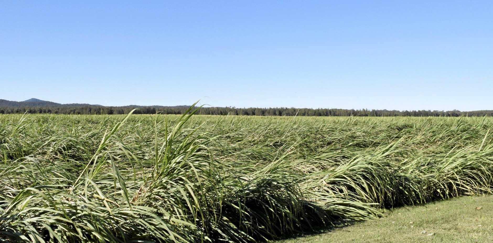FLATTENED: Cane crops that were flattened out by strong wind last weekend shouldn't cause farmers too much concern.