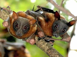 Science backs stance on flying foxes