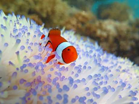 Bleached host sea anemone with resident Clown fish