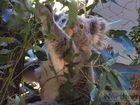 Macca koala