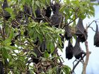BAT PROBLEM: A colony of flying foxes has taken up residence in trees growing in Rotary Park in Main Street.  Photo Peter Carruthers / Whitsunday Times