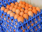 Rob Waterson silver dale eggs. Photo Mike Richards / The Observer