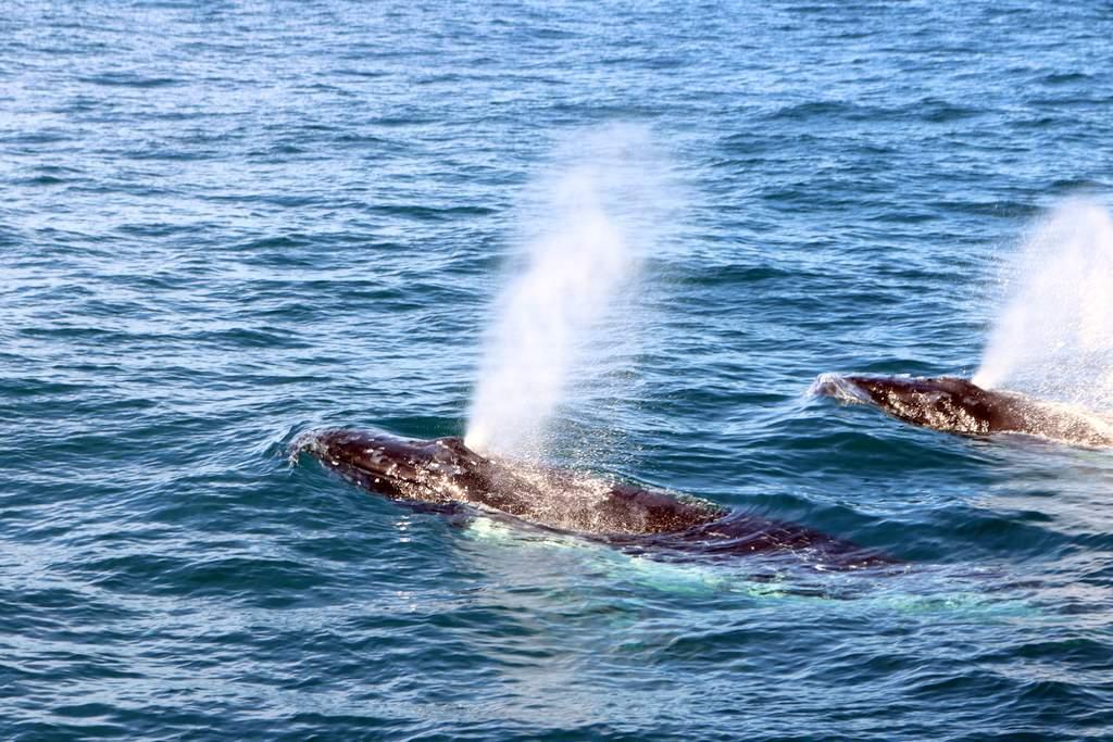 Whales emerge near the boat.