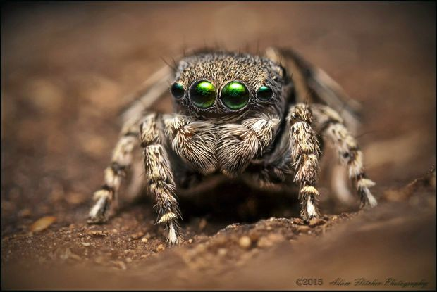 CUTE CRITTER: A new species of jumping peacock spider was recently discovered near Stanthorpe by members of the citizen science group Project Maratus. INSET: That dot represents the spider's approximate size compared to a 20 cent coin.