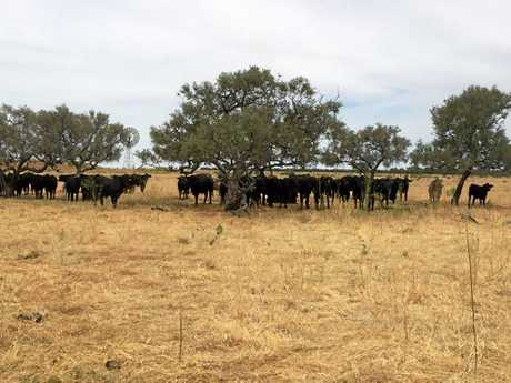There are more than 8000 head of wagyu cattle on Lake Nash.