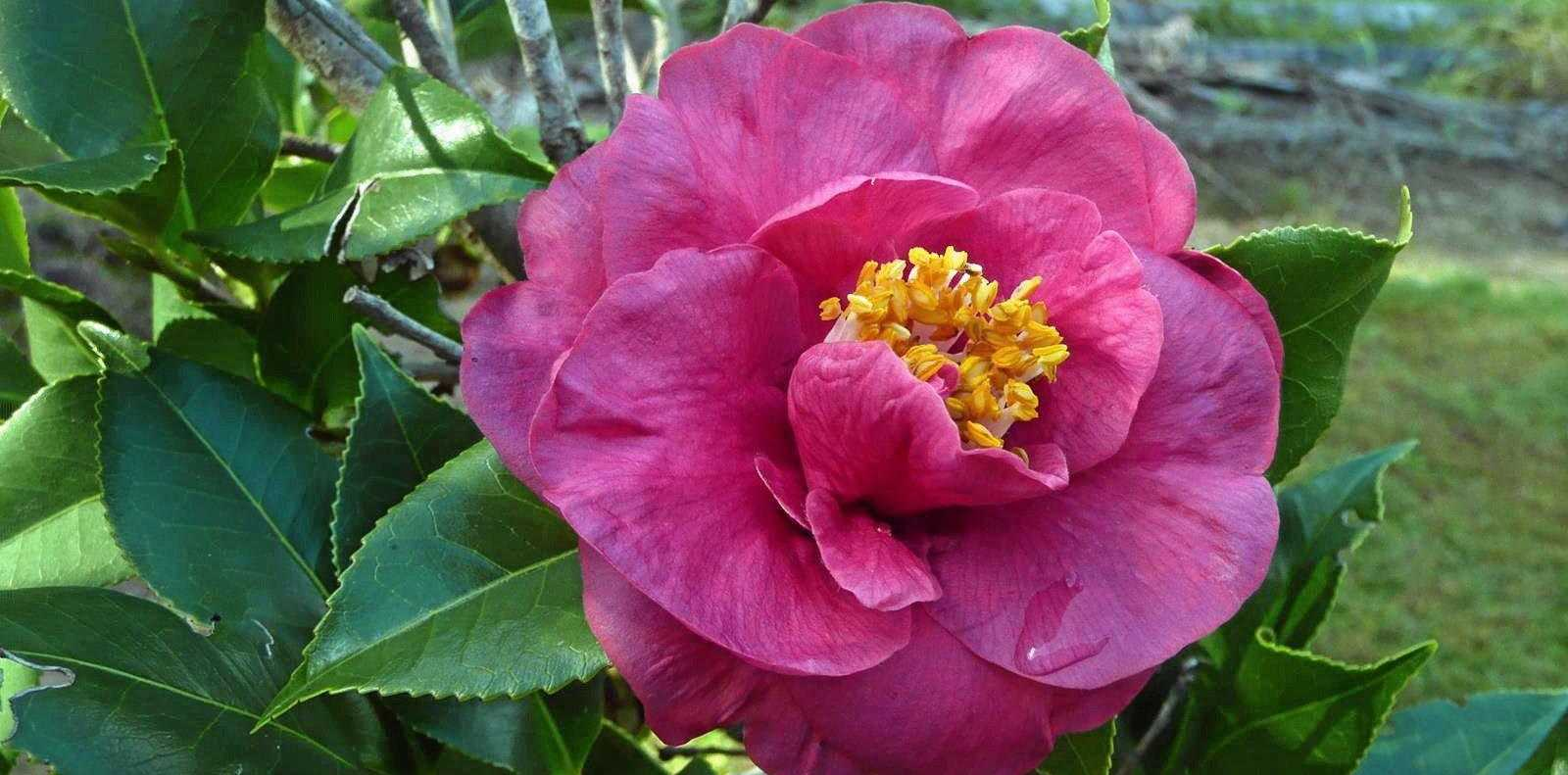 Camellia japonica Dr King flowers from now until spring.