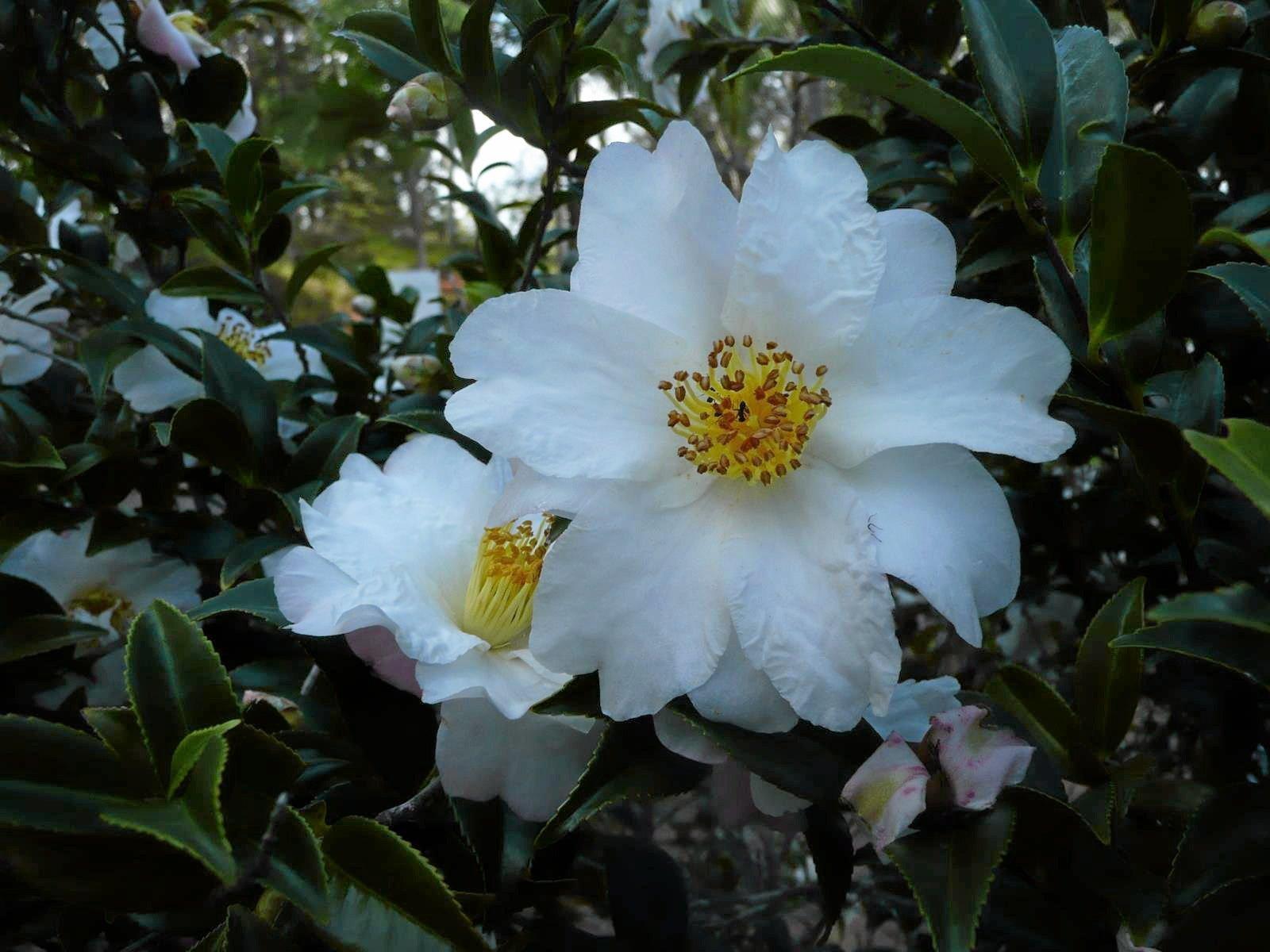 The outstanding single white C. sasanqua.