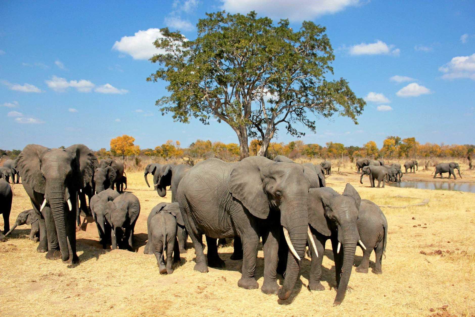 Sharon Pincott and her beloved elephants.