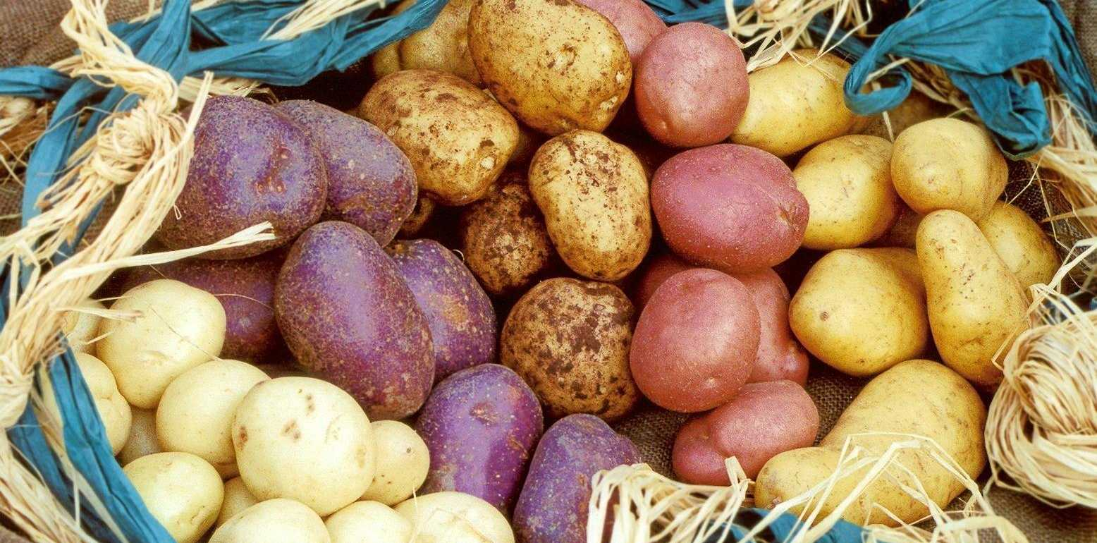 Spoiled for choice ... there are close to 4000 different varieties of potato.