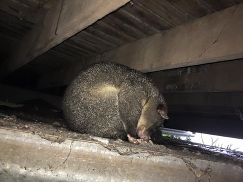A possum keeps out of the rain at Montville on the Sunshine Coast. Photo: Jeff Higgins / Higgins Storm Chasing Facebook
