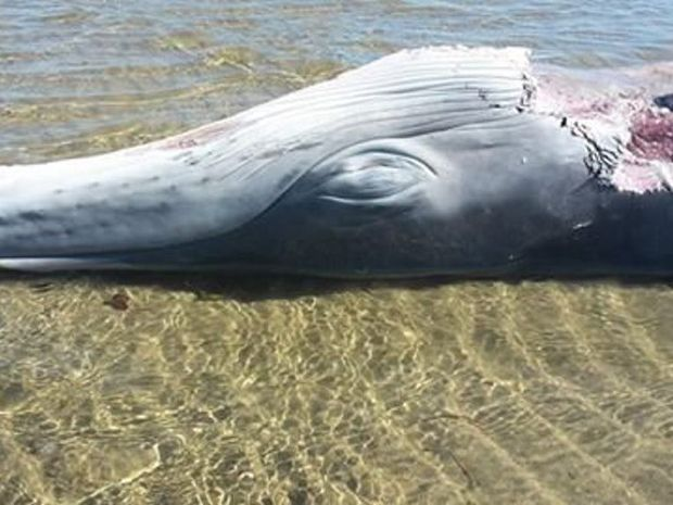 A dead whale washed up on a Bowen beach.