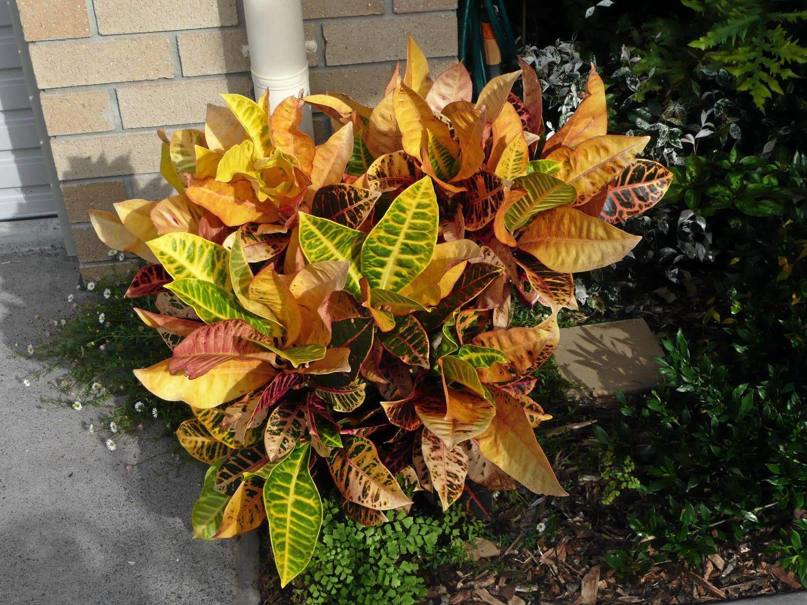 The large leafed Croton adds colour to the surrounding area.