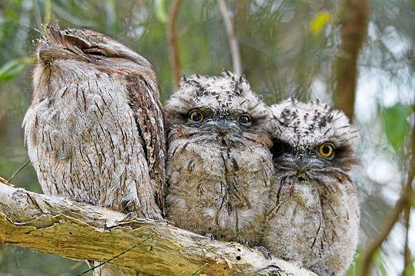 A family of tawny frogmouths. Recent storms have created homelessness in local bird populations.