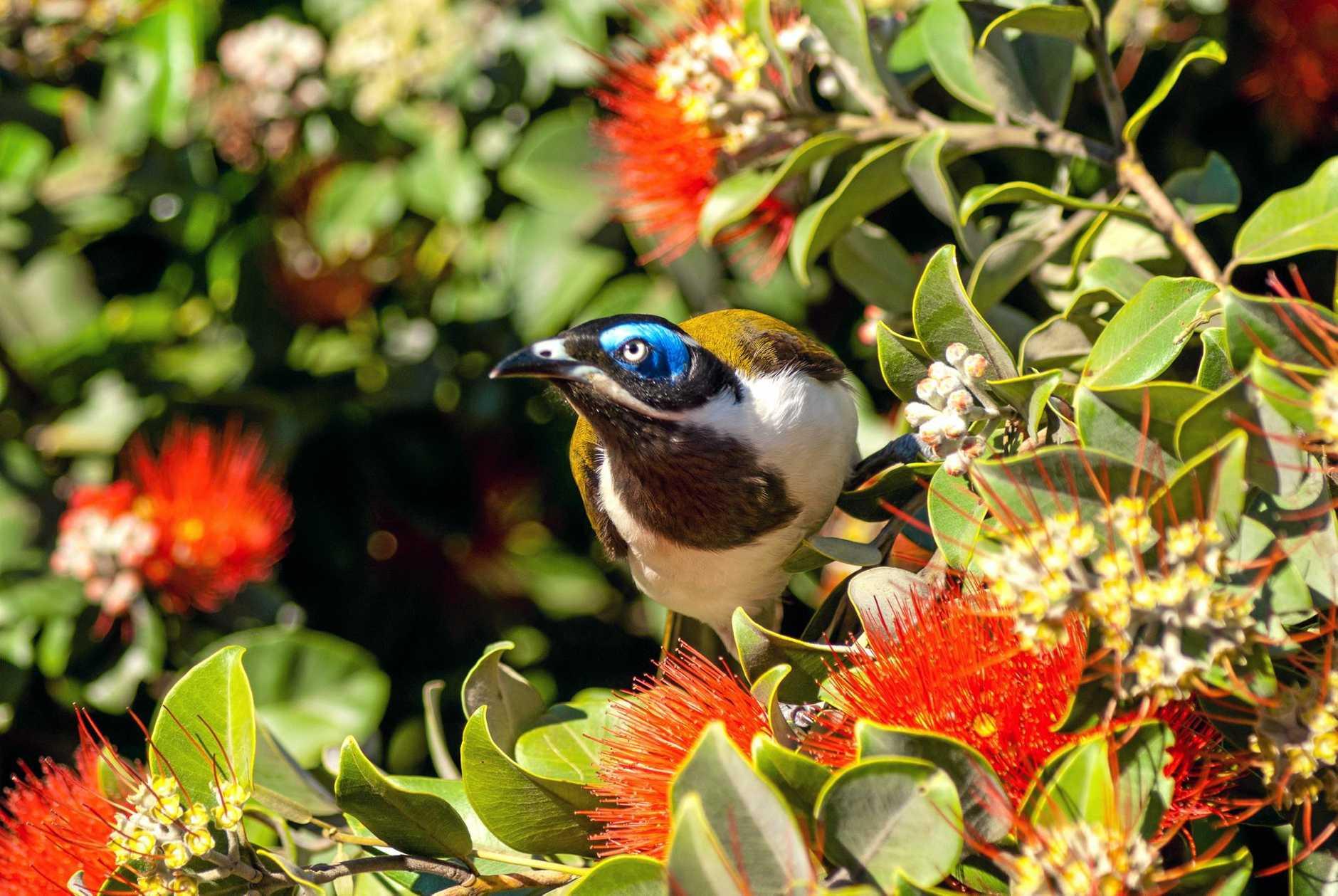 YARD FRIENDS: Blue-faced Honeyeater or Bananabird, a colourful bird found in Australia.