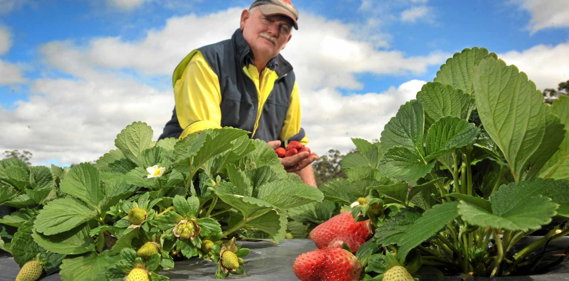 STRAWBERRY MUSH: Two weekends of wet weather have damaged Coast strawberry crops.