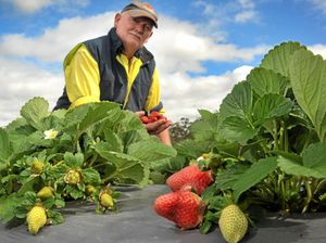 Wet weather makes mess of Coast strawberries