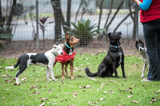 CLASS IS IN: Bindi keeps a watchful eye on Sue and the rehab dogs including Skip who is sitting obediently.