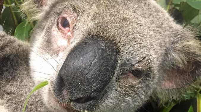 SAVED: Billie the koala was rescued by TMR and released today.