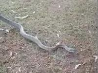 """Monstrous"" carpet python caught in Gympie"