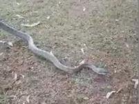 """Monstrous"" carpet python caught in Gympie"