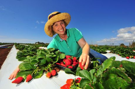 YUMMY: Bianca Emerson takes advantage of Tinaberries come and pick day. Photo: Scottie Simmonds / NewsMail