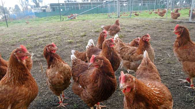 FREE RANGE: Consumer interest in animal welfare is driving change in the laying hen industry in Australia.