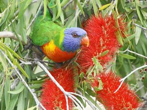 Bird photographer delighted by rainbow of Lorikeet colour