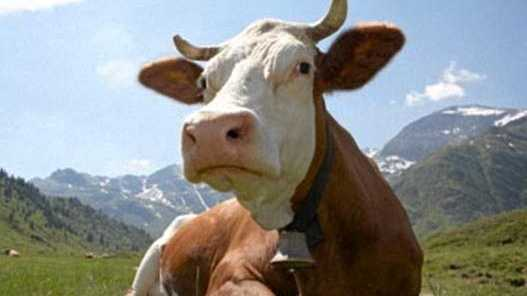 10 times cows have made the news in bundaberg news mail