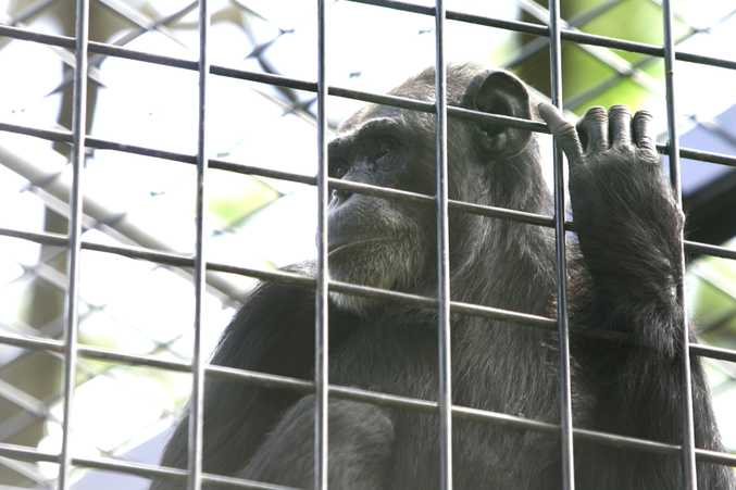 One of the Rockhampton Zoo's five chimpanzees.