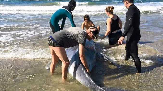 Volunteers help rescue a stranded baby humpback whale at Lennox Head.