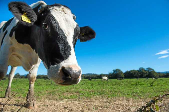 dairy cows at repton farm..  28 June  2016.
