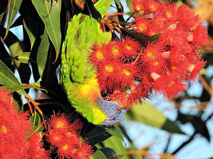 SWEET TREATS: Lorikeets enjoy the nectar of the eucalyptus flowers.